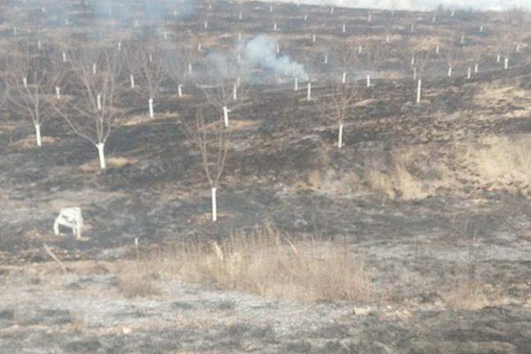 Incendio arrasa con 70 nogales recién plantados