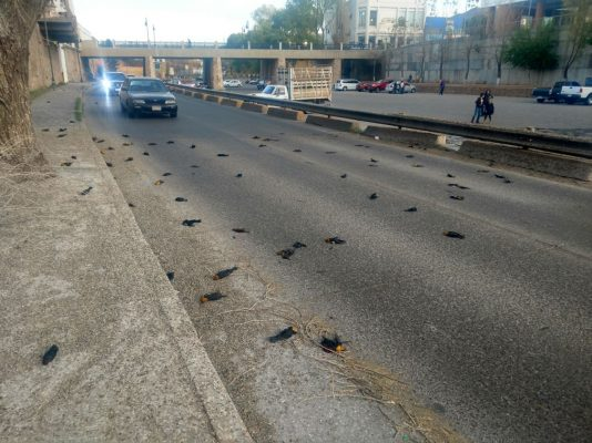 Lluvia de aves muertas sorprende a Parralenses