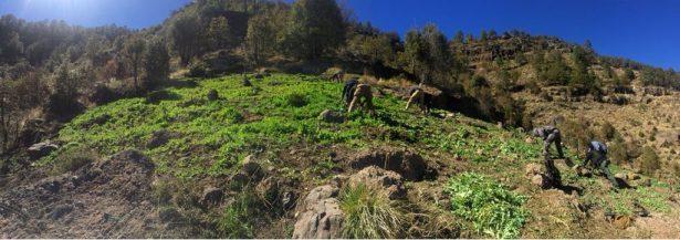 [GALERÍA] Destruyen cerca de 56 mil 800 plantas de amapola y marihuana en Guachochi
