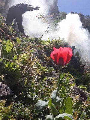 [Galería] Encuentran y destruyen un predio de Amapola en zona colindante de Guadalupe y Calvo con Guachochi