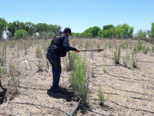 FGE destruye sembradíos de amapola y mariguana localizados sobre el Río Florido