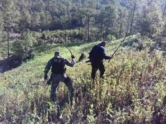 Agentes investigadores ubican y destruyen un plantío de amapola en Guadalupe y Calvo