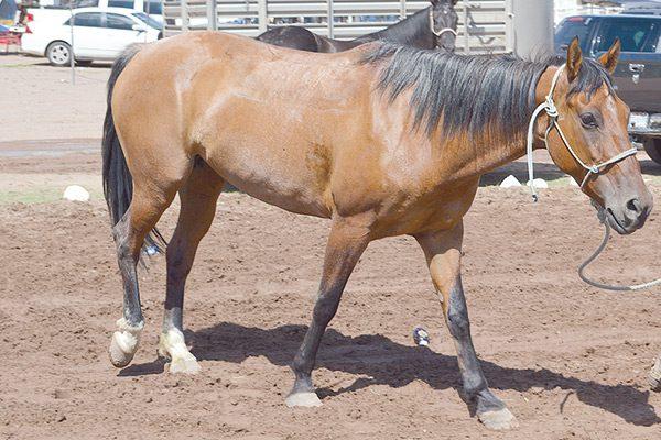 Mueren tres caballos en la travesía de la cabalgata villista