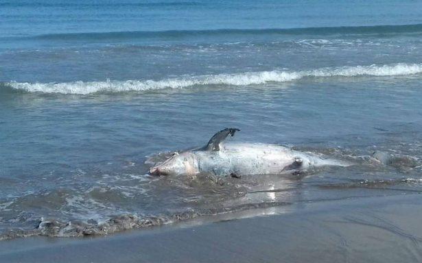 Aparece delfín nariz de botella muerto en playa de Alvarado