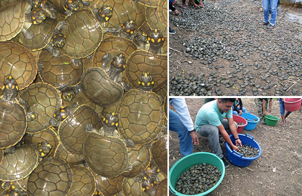Liberan más de 37 mil crías de tortuga para repoblar Amazonía peruana