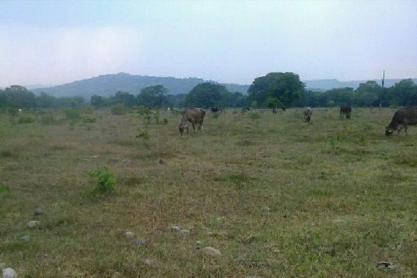 Mueren 300 cabezas de ganado por falta de agua y pastizales
