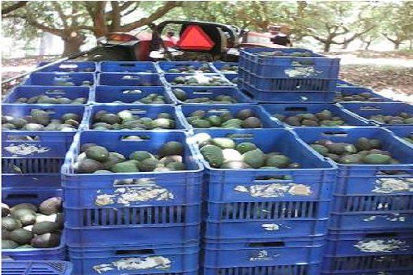 Sube de 19 a 39 pesos el kilo del aguacate en Atlixco