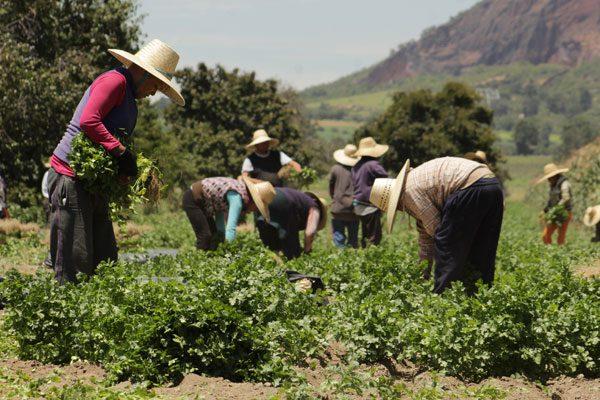 De nueva cuenta Estados Unidos restringe entrada de cilantro poblano
