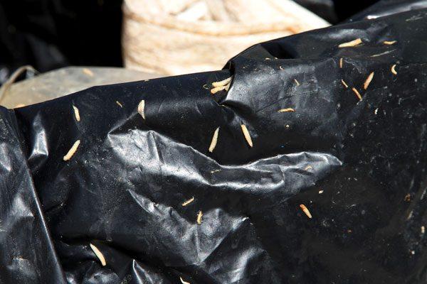 Tambo con gusanos causa movilización policíaca