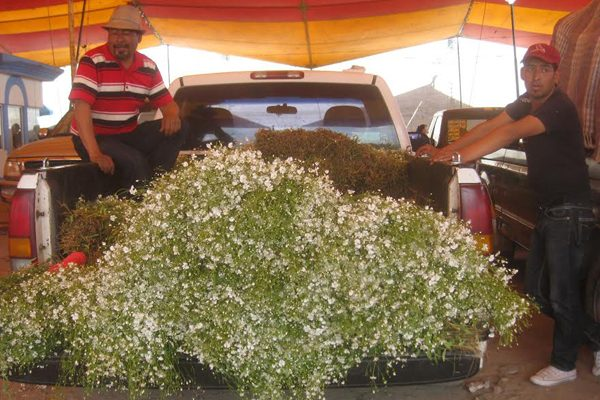 Productores de flor de Texmelucan esperan repunte de ventas por Todos Santos