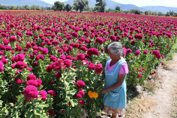 Atlixco, con sus flores de cempasúchil y terciopelo