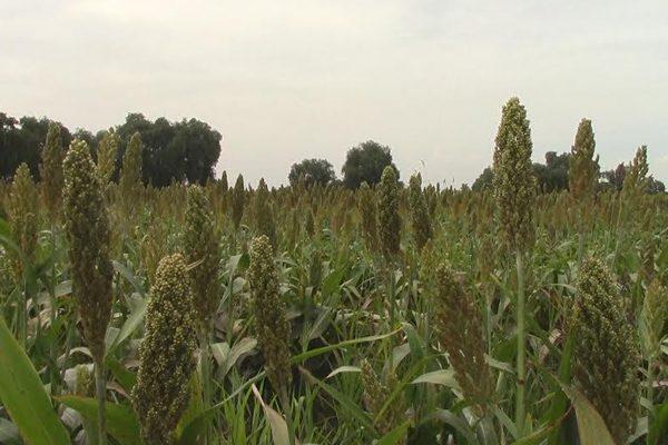 Afectados 4 mil productores de Puebla por Pulgón amarillo