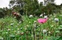 Encuentran militares cultivo de amapola en Hueyotlipan, Tlaxcala