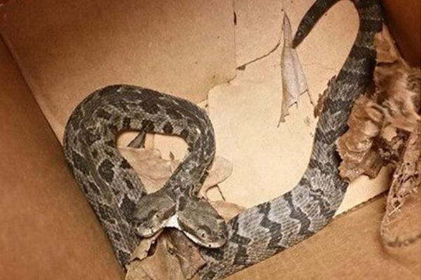Hombre descubre a serpiente de dos cabezas en su trabajo