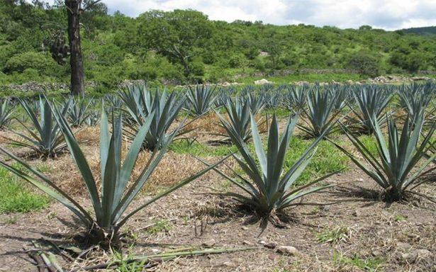 Siete de cada 10 mexicanos prefieren el tequila