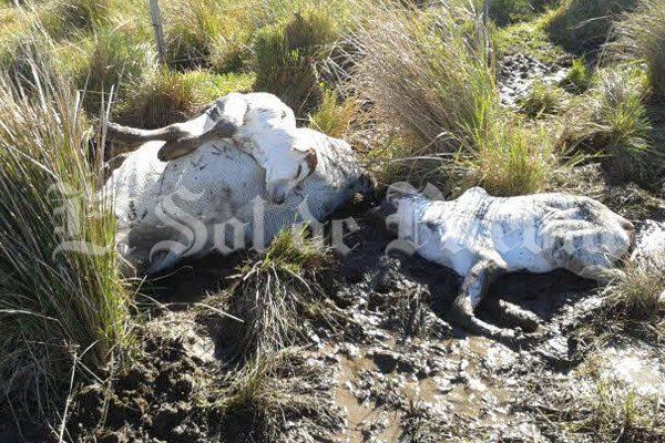 Muere ganado por el frío en la región de Libres-Oriental
