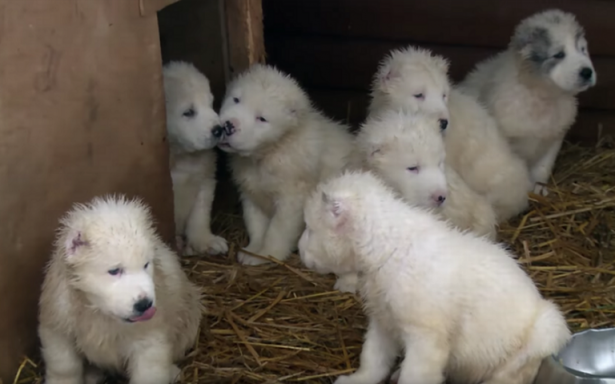 Rusia conquista con su peludo arsenal de tiernos perritos