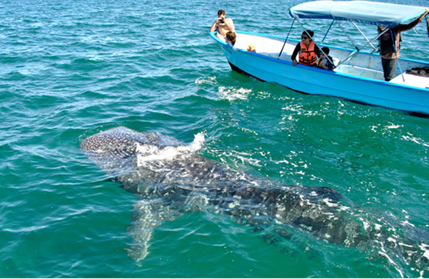 Reportan baja presencia de tiburón ballena en La Paz
