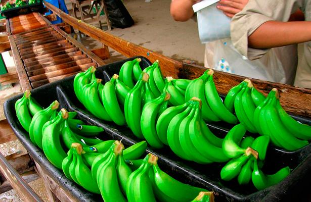 Se desploma producción de plátano en Veracruz; jornaleros piden apoyos