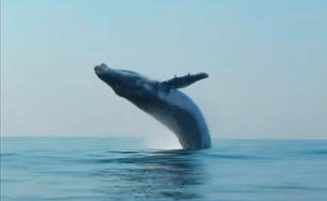 "[Video] ¡Algo nunca antes visto! Ballena ""volando"" sorprende a expedicionarios"