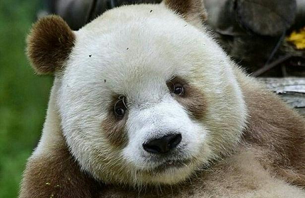 Conoce a Qizai el último oso panda marrón del mundo