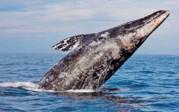Ballena gris cumple su ritual y llega a Baja California