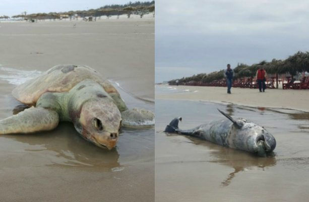 Realizan autopsia a delfín y tortuga encontrados en Miramar