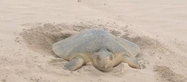 Tortugas Lora hacen su arribo a playa Miramar