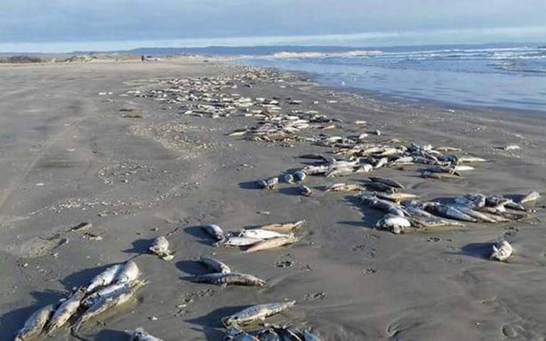 Hallan sardinas muertas en playa de Ensenada por mala maniobra de embarcación