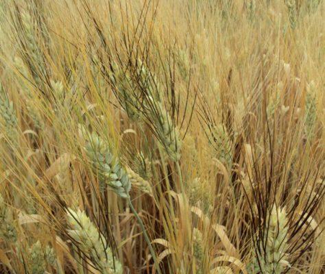 Agricultores esperan buenas cosechas de trigo