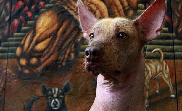 Xoloitzcuintle, un vestigio del México prehispánico