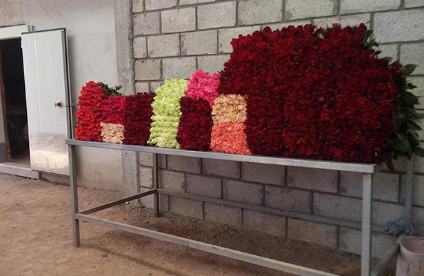 Productores instalan empacadora de rosas
