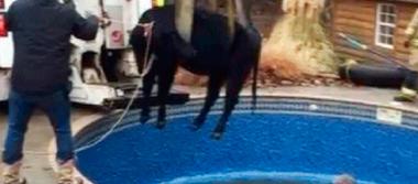 Rescatan a vaca atrapada en una piscina de Oklahoma