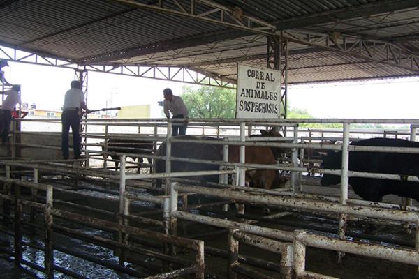 Por vencer prórroga para aretado de ganado