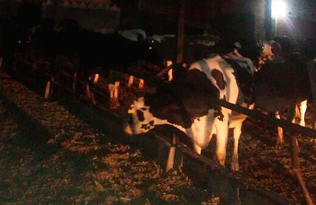 LAS 86 cabezas de ganado lechero recuperadas por las autoridades policiacas del municipio de Pedro Escobedo.