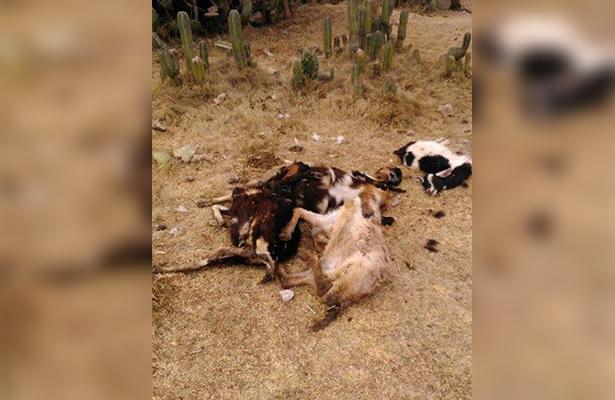Mueren 210 cabezas de ganado; grave afectación enfrentan productores de Cazadero