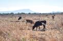 La Piedad, Santiago Mexquititlán y San Pablo propensas a robo de ganado