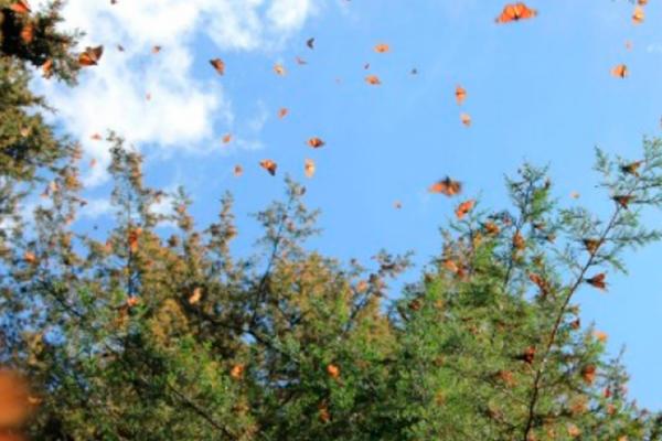 Profepa suspende huertos frutales en reserva de Mariposa Monarca