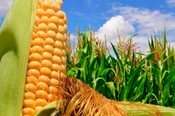 Productores presentarán propuestas para mejorar mercado de maíz