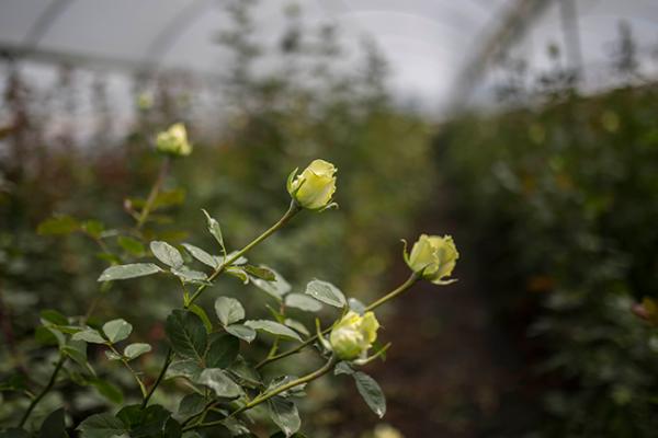 Otorgan asesoría comercial a productores de rosas