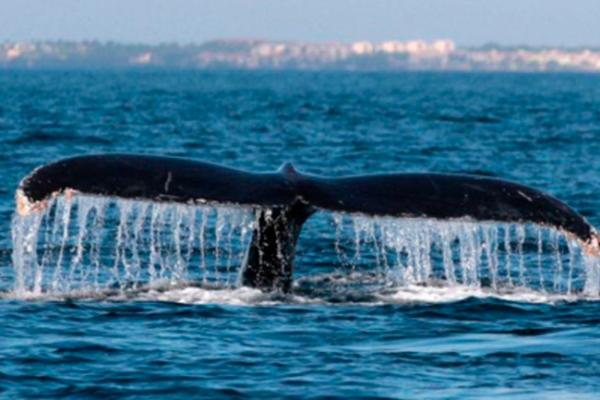 Aguas de Baja California Sur reciben a la ballena gris