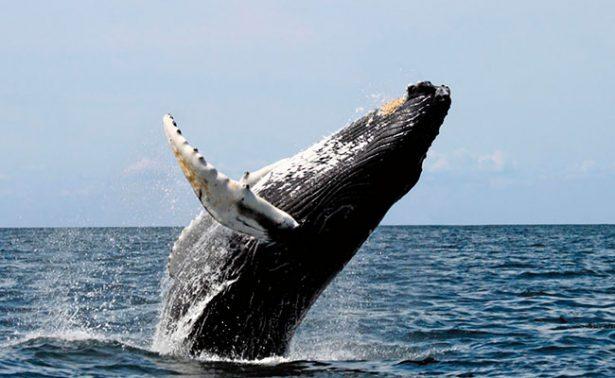 Ballena ataca a barco en Australia y hiere a cuatro marinos