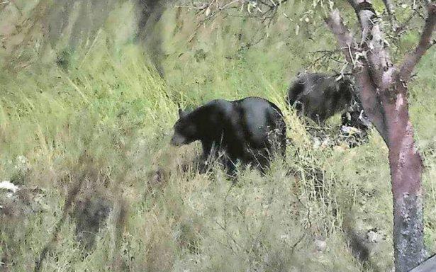 Por comida, continúan bajando osos de la sierra a sectores urbanos de Monterrey