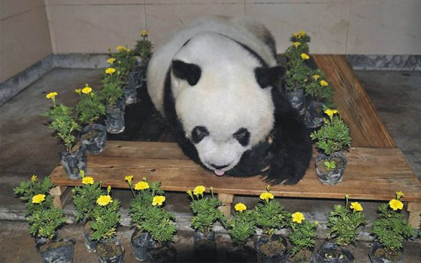 Muere en China el panda más viejo del mundo