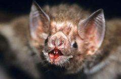 Descubren que murciélago vampiro en Brasil ¡prefiere sangre humana!