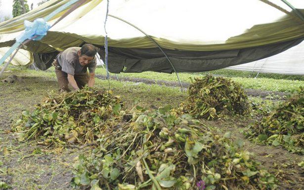 Producción en cultivos de flor y hortaliza en Xochimilco a la baja