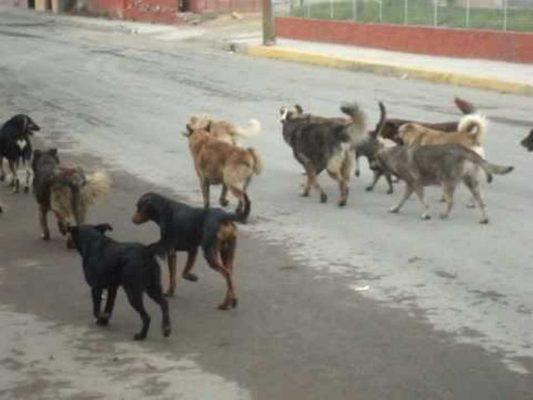 60 denuncias por mes se reciben por presencia de perros callejeros