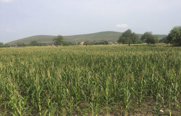 Destina Sagarpa 300 mdp a productores del campo de SLP