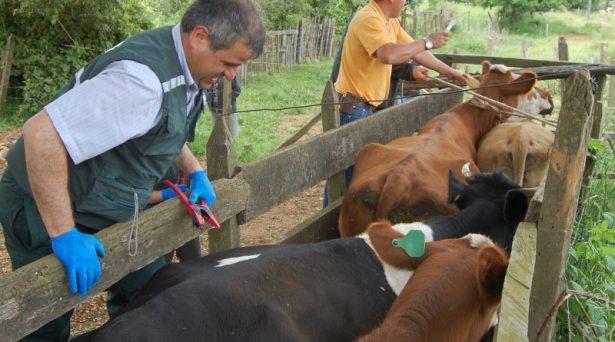 Se retrasa proceso de areteo de ganado en Tamuín