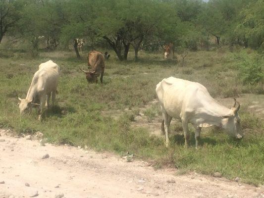 Se requieren más acciones para la prevención del robo de ganado